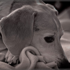 Rocco  portrait by Ronny Mariano - Animals - Dogs Portraits ( ir, dogs, infrared, 2016, cute, lifepixel, portrait, canine, macro, rocco, irfilter, pet, sleepy, beagle, dog, animal )