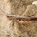Grasshopper. Saltamontes