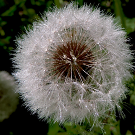 weed seeds by LADOCKi Elvira - Nature Up Close Other plants ( flowers )