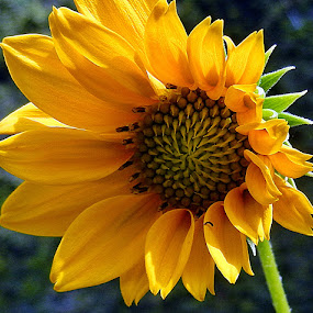 Coy by Pradeep Kumar - Flowers Single Flower