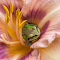 Frog Deep In A Lily.jpg