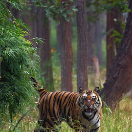 by Shuja Mohammad - Animals Lions, Tigers & Big Cats