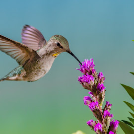 hover hummer  by Shane R Fairburn - Animals Birds ( bird, flying, wings, hummingbird, feathers, animal )