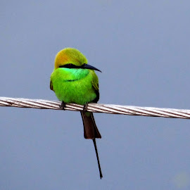 Bee-eater  by J Moner Koner Baire - Novices Only Wildlife ( green, barbed wire, shining, tail, black )