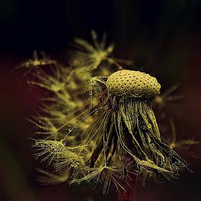 maslačak by Željko Oskoruš - Nature Up Close Other plants
