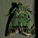 Dimorphic Macalla Moth