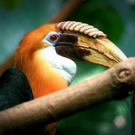 Toucan by Nancy Tonkin - Animals Birds ( bird, tropical, toucan )