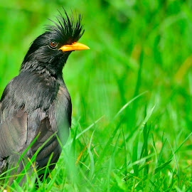 The beauty of a grandis in the grass. by Francois Wolfaardt - Uncategorized All Uncategorized ( mynah, bird, grandis, nature, grass, green, black )