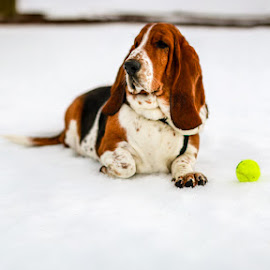 Charlie Brown by Annette Nordlinder - Animals - Dogs Portraits ( long ears, snow, white, brown, basset hound, dog )