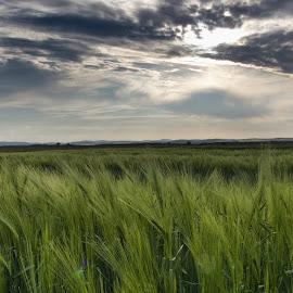 South Bohemia by Martin Kostohryz - Landscapes Prairies, Meadows & Fields ( south bohemia, sunset, meadow, early evening, corn )