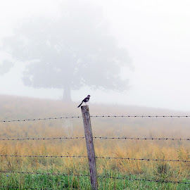 Perched by Larry Strong - Landscapes Prairies, Meadows & Fields ( bird, field, tree, fog )
