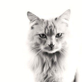 Oliver by Chelsea Vermaak - Animals - Cats Portraits ( cats, cat, domesticated animals )