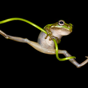 leap by Angi Wallace - Animals Amphibians