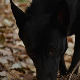 smelling smells by Andreas Batzilis - Animals - Dogs Portraits ( smell, breed, ground, forest, portrait, belgian, stroll, nature, belgian shepherd, female, pet, dog, walk, black )