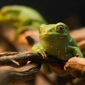 Young Jabba by Renee East - Animals Amphibians ( frog waxy monkey tree toad green amphibian pet )