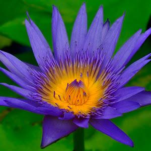 Lotus in Thap Sakae.jpg