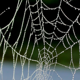 misty morning web by Shannon Sommers - Nature Up Close Webs ( color, dew, drops, web, spider )