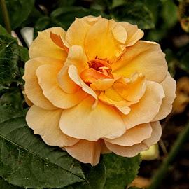 GOR rose 144 16 by Michael Moore - Flowers Single Flower