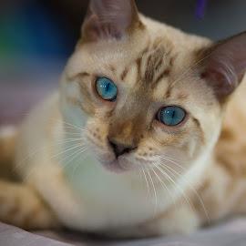 Bengal by Aleksander Cierpisz - Animals - Cats Portraits