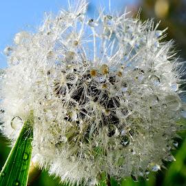 Dandelion by Denton Thaves - Nature Up Close Other plants ( dandelion )