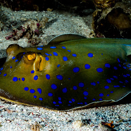 sharm_uw3 by Emanuele Pola - Animals Sea Creatures ( nauticam, underwater, sharm el sheikh, diving, olympus )