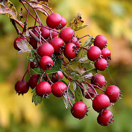 Hawthorn Berries by Chrissie Barrow - Nature Up Close Other Natural Objects ( red, nature, autumn, green, bush, hawthorn, leaves, bokeh, closeup, berries )