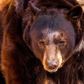 Black Bear by Dave Lipchen - Animals Other Mammals ( black bear )