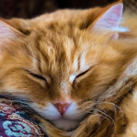 Sleeping Cat by Keith Sutherland - Animals - Cats Portraits ( sleeping cat, cat )