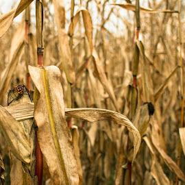 Corn field by Natalia Dobrescu - Nature Up Close Gardens & Produce ( canon, plant, colors, canon70d, plants, yellow, corn, photography, crop, field, munich, nature, color, germany )