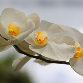 Whitey by Fajar Krisna - Nature Up Close Flowers - 2011-2013 ( orchid, white )