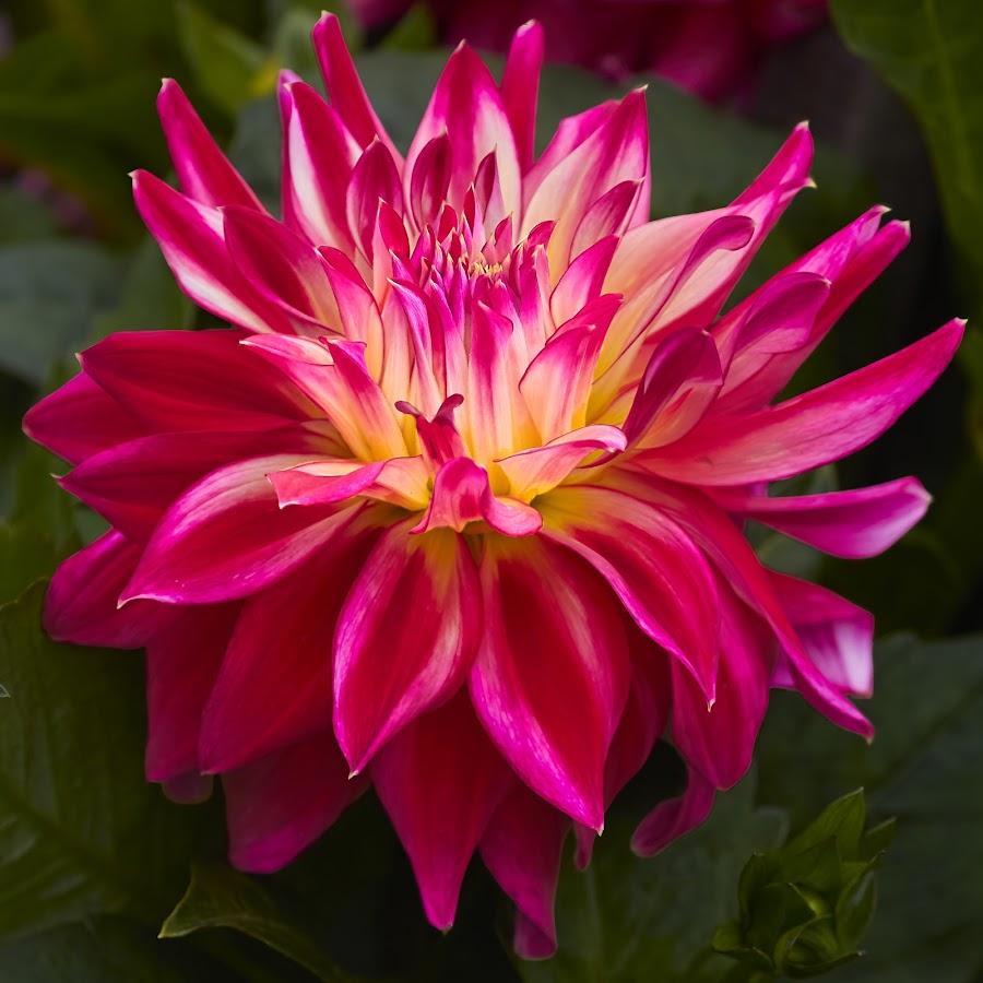 Dahlia 8801~ by Raphael RaCcoon - Flowers Single Flower