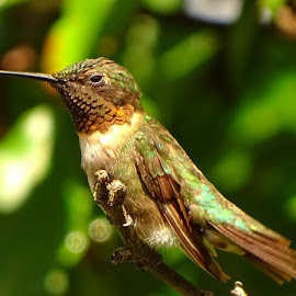 Hummingbird  by Becky Davis - Novices Only Wildlife