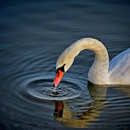 swan by Dunja Kolar - Animals Birds ( rakitje, croatia, swan )