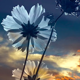 Observing the sunset... by Claudius Cazan - Flowers Flower Gardens ( transparency, cloud formations, white flowers, sunset )