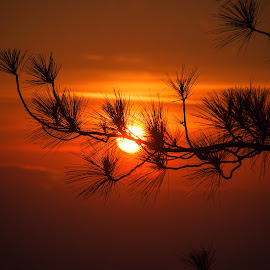 Pine SILHOUETTE by Jam Pong - Landscapes Sunsets & Sunrises ( orange, colorful, silhouette, sunset, philippines, golden hour )