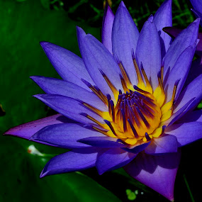 Water lily by Prasant Kumar - Nature Up Close Flowers - 2011-2013 ( water, nature, leaf, glow, flower )