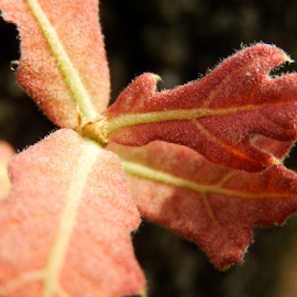 Young Oak Leaves by Sandra Aguirre - Nature Up Close Leaves & Grasses ( orange, macro, oak leaves, autumn', oak )
