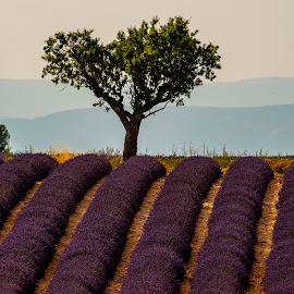 Lavender Fields by Stanley P. - Landscapes Prairies, Meadows & Fields