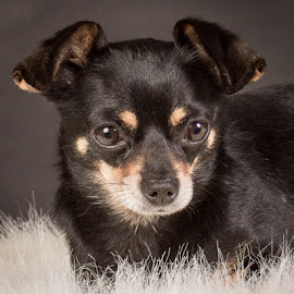 by Myra Brizendine Wilson - Animals - Dogs Portraits ( foster pansy, dogs, foster, gcspca, greater charlotte spca, canine, foster dogs, foster dog, pet, pets, pansy, foster dog pansy, dog )