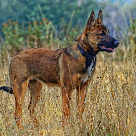 Young Malinois Dog - Mesa by Twin Wranglers Baker - Animals - Dogs Puppies ( malinois puppy, pup, puppy, ranch dog, dog )