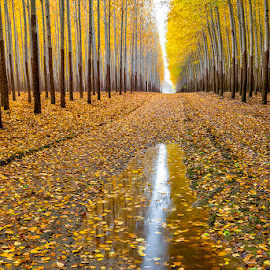 Autumn tree reflection in a puddle of rain water by Charles Knowles - Landscapes Forests ( water, farm, patterns, tree, autumn, fall, agriculture, forest, yellow, puddle, road, leaves )