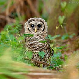 Baby Barred Owl on the Ground by Dave Eppley - Animals Birds ( barred owl, raptor, owl, bird, david eppley )