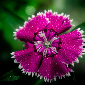 dianthus flower - close up by Warren Chirinos Pinedo - Flowers Single Flower ( beautiful flower, water drops, color, green, violet, flower closeup, dianthus, pink, beauty, cute, garden, close up, flower )