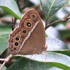 Dark Brand Bush Brown Butterfly