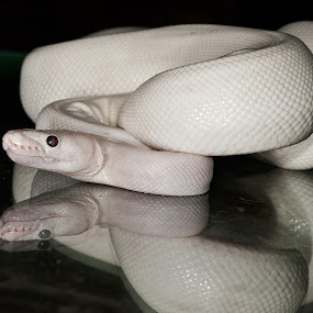 PinkisH ALBino by Daniel Legendarymagic - Animals Reptiles ( python, boa, rare, white, pink )