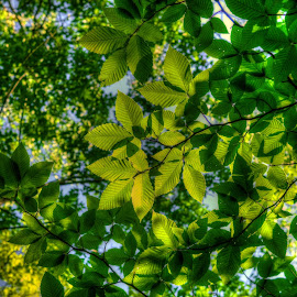 Green Leaves by Fraya Replinger - Nature Up Close Leaves & Grasses ( sky, tree, green, summer, trees, leaves, skies )