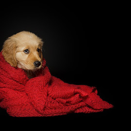 Ronin by Judith Vrugt - Animals - Dogs Puppies ( pet, puppy, cute, dog, animal, golden retriever )