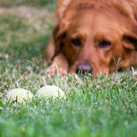 Dog Wants to Play... by Karoner Gaming - Animals - Dogs Portraits ( labrador, retriever, cute, dog, story )