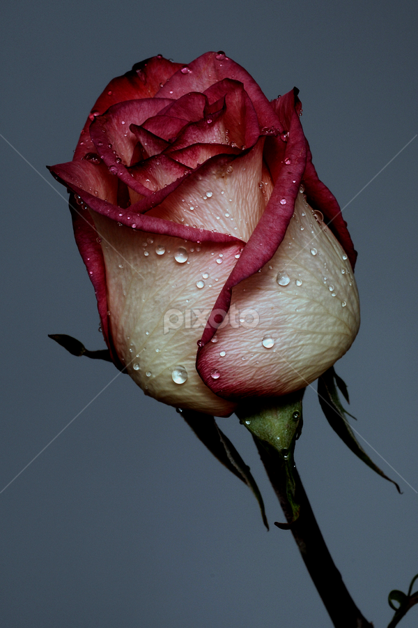 Flower and raindrops by Cristobal Garciaferro Rubio - Nature Up Close Flowers - 2011-2013 ( rose, petals, raindrops, flowers, two tone rose, flower )