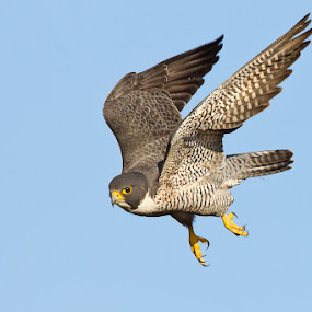 Peregrine Falcon by Phoo (mallardg500) Chan - Animals Birds ( falcon, raptor )